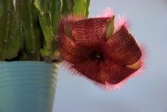 Uno Stapelia del fiore grandiflora Fotografia Stock Libera da Diritti