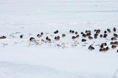 Uno stormo degli uccelli Fotografia Stock