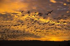 Uno stormo degli uccelli al tramonto Fotografia Stock