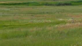 Uno stormo degli uccelli aumenta da erba alta video d archivio