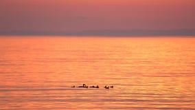 Uno stormo degli uccelli che nuotano sul lago di estate archivi video