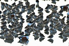 Uno stormo degli uccelli che riposano insieme Fotografie Stock Libere da Diritti