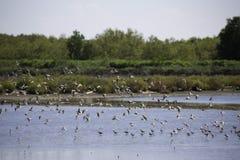 Uno stormo degli uccelli che vivono nell'area della zona umida Fotografia Stock
