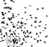Uno stormo degli uccelli migratori Fotografie Stock
