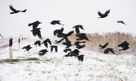 Uno stormo dei corvi che volano sopra i campi congelati Fotografie Stock Libere da Diritti