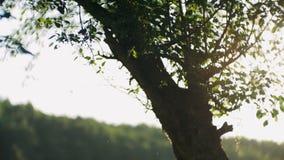 Uno stormo dei moscerini vola nei raggi del tramonto archivi video