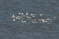 Uno stormo del Calidris sbalorditivo di Sanderling alba e del alpina del Calidris del Dunlin che sorvola il mare all'alta marea i Fotografie Stock