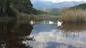 Uno stormo delle anatre domestiche e delle oche degli uccelli che galleggiano sulla montagna del fiume nei precedenti stock footage