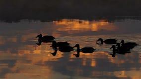 Uno stormo delle anatre marroni nuota in un lago al tramonto nel slo-Mo stock footage