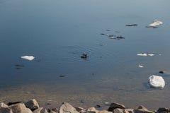 Uno stormo delle anatre selvatiche che nuota nel fiume dopo l'inverno fotografie stock