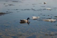 Uno stormo delle anatre selvatiche che nuota nel fiume dopo l'inverno Le anatre nuotano in acqua ghiacciata dell'inverno fotografia stock libera da diritti