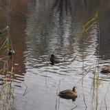 Uno stormo delle anatre selvatiche che nuota nello stagno Anatre e maschi Fotografia Stock