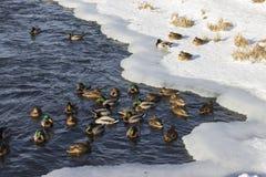 Uno stormo delle anatre selvatiche nel fiume di inverno Fotografie Stock Libere da Diritti