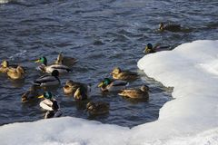 Uno stormo delle anatre selvatiche nel fiume di inverno Fotografia Stock