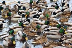Uno stormo delle anatre selvatiche sul lago Ci sono molte anatre Fotografie Stock
