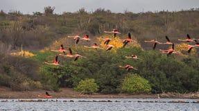 Uno stormo di volata dei fenicotteri Fotografie Stock
