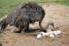 Uno struzzo e le sue uova nel suo nido Immagini Stock Libere da Diritti