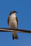 Uno Swallow di albero su un collegare Fotografia Stock