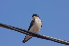Uno Swallow di albero sul primo piano del collegare Fotografia Stock