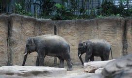 Uno zoo asiatico di due elepants Fotografia Stock