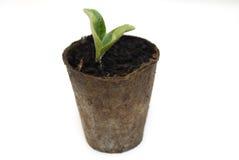 Uno zucchino che germina. Fotografia Stock Libera da Diritti
