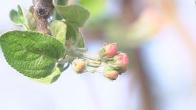 The unopened Bud of apple blossoms closeup. Blooming apple tree stock footage