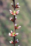 Unopened buds of Prunus tomentosa's flowers Stock Photography