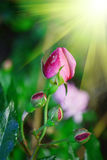 Unopened flower buds of roses stock image