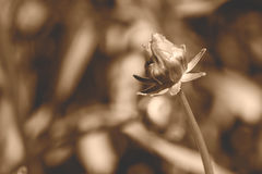 Unopened Flower in sepia tone. Shallow Depth of Field horizontal photography Royalty Free Stock Images