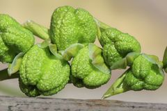 Unopened green seed pods or heads of a freesia laxa flower Royalty Free Stock Photos