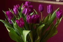 A lilac tulip bud. Macro. Lilac Tulips. Bud, petals, bouquet. Unopened lilac tulip bud show in close-up. Lilac tulips in a decorative vase stand on a table Royalty Free Stock Photos