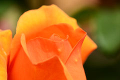Unopened orange rose bud Stock Photo
