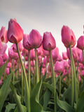 Unopened pink spring tulips Royalty Free Stock Image