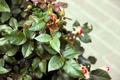 Unopened rosebud on a Bush royalty free stock images