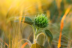 Unopened small sunflower Royalty Free Stock Images