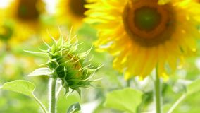 Unopened Sunflower Reaching To The Sun stock video footage