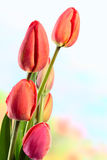 Unopened tulips Royalty Free Stock Photography