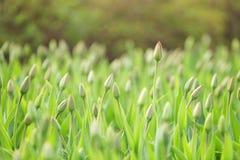 Unopened tulips in city flowerbed springtime Stock Image