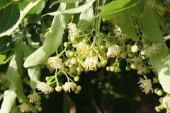 Unopened White Flowers of Linden in June Close-Up stock photos