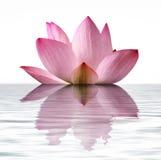 Unosić się Lotus Zdjęcie Stock
