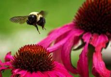 Unosić się Mamrocze pszczoły Zdjęcie Royalty Free