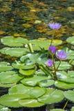 Unosić się 4 pięknego purpurowego lotosowego kwiatu w stawie z skałami na ziemi Obrazy Royalty Free