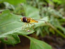 Unosi się komarnicy lub Syrphid komarnicy Eristalinus taeniops zdjęcia stock