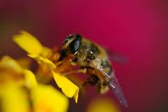 Unosi się komarnicy na żółtym kwiacie Obraz Stock