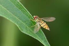 Unosi się komarnicy na liściu Zdjęcie Royalty Free