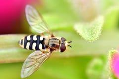 Unosi się komarnicy w ogrodowych kwiatach przy zakończeniem w górę makro- fotografia strzału Obrazy Stock