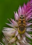 Unosi się komarnicy & x28; Eristalinus gatunki Syrphidae & x29; Obraz Royalty Free