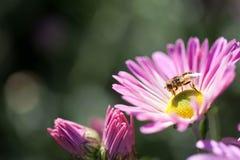Unosi się komarnicy karmienie Zdjęcia Stock