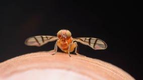 Unosi się komarnicy na palcu Zdjęcie Stock