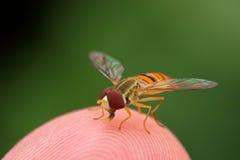 Unosi się komarnicy na palcu Fotografia Royalty Free